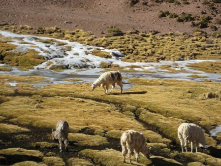 Llamas peacefully grazing in an ice-covered (!) stream